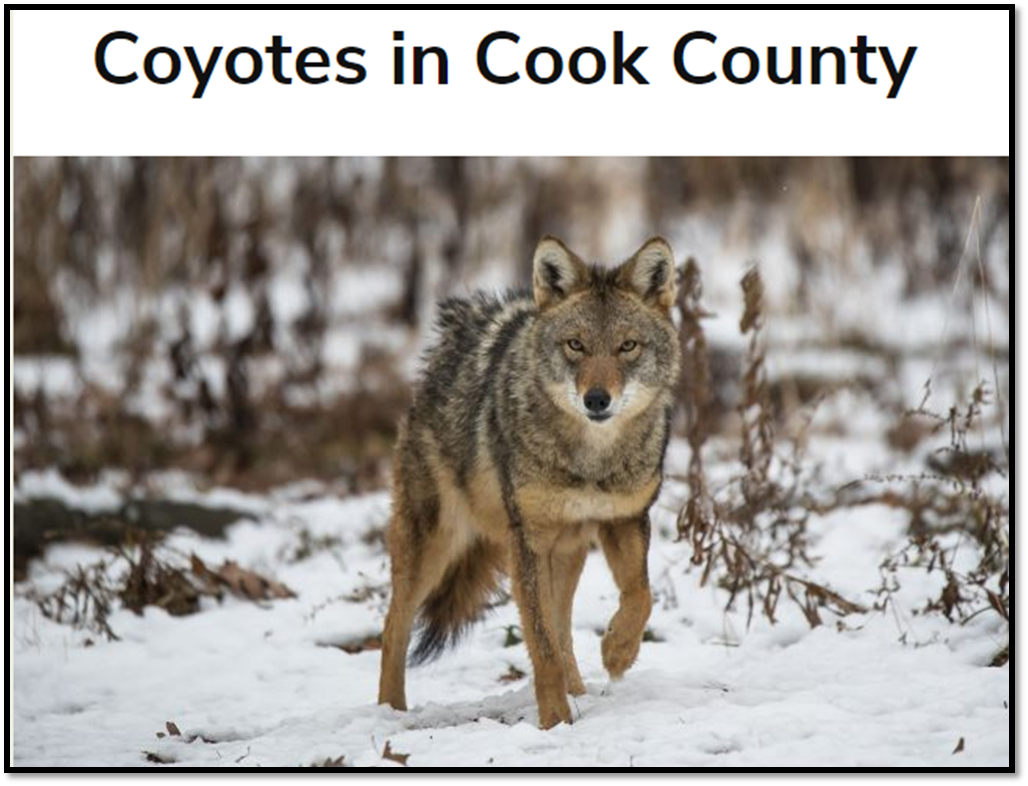 Coyotes in Cook County 2019